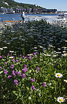BB_20180606_0058 / Leucanthemum vulgare / Prestekrage <br /> Trifolium pratense / Rødkløver