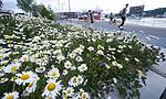 BB_20180612_0048 / Leucanthemum vulgare / Prestekrage <br /> Trifolium pratense / Rødkløver