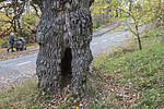 BB_20181021_0216 / Quercus robur / Sommereik