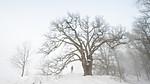 BB_20190120_0044-2 / Quercus robur / Sommereik