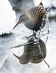 BB_20190129_0276 / Rallus aquaticus / Vannrikse