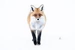 BB_20190419_0034 / Vulpes vulpes / Rødrev