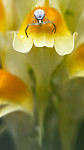 BB_20190720_0383 / Linaria vulgaris / Lintorskemunn <br /> Misumena vatia