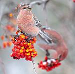 BB_20191110_0660 / Pinicola enucleator / Konglebit <br /> Sorbus aucuparia / Rogn