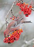 BB_20191110_1258 / Pinicola enucleator / Konglebit <br /> Sorbus aucuparia / Rogn