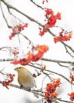 BB_20191110_1310 / Pinicola enucleator / Konglebit <br /> Sorbus aucuparia / Rogn