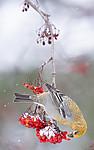 BB_20191110_1569 / Pinicola enucleator / Konglebit <br /> Sorbus aucuparia / Rogn