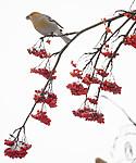 BB_20191208_0361 / Pinicola enucleator / Konglebit <br /> Sorbus aucuparia / Rogn