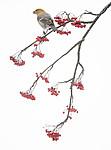 BB_20191208_0369 / Pinicola enucleator / Konglebit <br /> Sorbus aucuparia / Rogn