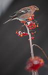BB_20191208_0505 / Pinicola enucleator / Konglebit <br /> Sorbus aucuparia / Rogn