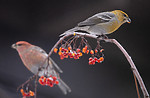 BB_20191208_0538 / Pinicola enucleator / Konglebit <br /> Sorbus aucuparia / Rogn