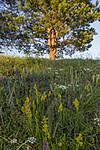 BB_20200716_0168 / Galium verum / Gulmaure <br /> Phleum phleoides / Smaltimotei <br /> Pinus sylvestris / Furu <br /> Veronica spicata / Aksveronika