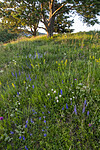 BB_20200716_0183 / Galium verum / Gulmaure <br /> Pinus sylvestris / Furu <br /> Trifolium repens / Hvitkløver <br /> Veronica spicata / Aksveronika