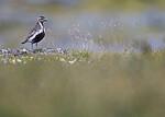 BB_20200722_0195 / Pluvialis apricaria / Heilo