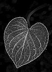 BB_20200810_0086_2 / Viola mirabilis / Krattfiol