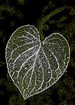 BB_20200810_0086_3 / Viola mirabilis / Krattfiol
