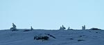 DSC_1536 / Lagopus muta / Fjellrype