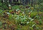 DSC_5192 / Cypripedium calceolus / Marisko