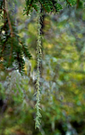DSC_7204 / Usnea longissima / Huldrestry