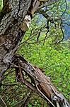 DSC_9408 / Haploporus odorus / Nordlig aniskjuke <br /> Salix caprea / Selje