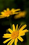 DSC_9708 / Arnica montana / Solblom