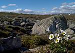 DSC_9871 / Ranunculus glacialis / Issoleie