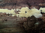 KA2_090924_0325 / Antrodiella citrinella / Gul snyltekjuke