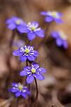 KA_05_1_2907 / Hepatica nobilis / Blåveis