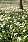 KA_05_1_3185 / Anemone nemorosa / Hvitveis