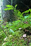 KA_05_1_4918 / Hydnellum peckii / Skarp rustbrunpigg