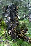 KA_05_1_5051 / Climacocystis borealis / Vasskjuke