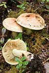 KA_05_1_5078 / Cortinarius mussivus / Stor bananslørsopp