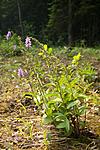 KA_06_1_0779 / Epipactis atrorubens / Rødflangre