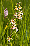 KA_06_1_0792 / Epipactis palustris / Myrflangre