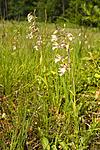 KA_06_1_0797 / Epipactis palustris / Myrflangre