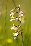 KA_06_1_0799 / Epipactis palustris / Myrflangre
