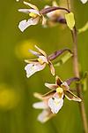 KA_06_1_0803 / Epipactis palustris / Myrflangre
