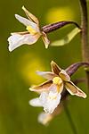 KA_06_1_0811 / Epipactis palustris / Myrflangre