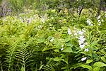 KA_06_1_1122 / Campanula latifolia / Storklokke