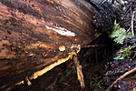 KA_06_1_1353 / Pycnoporellus alboluteus / Storporet flammekjuke