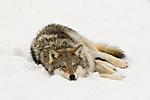 KA_07_1_0164 / Canis lupus / Ulv
