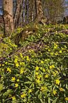 KA_07_1_0483 / Anemone ranunculoides / Gulveis