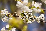 KA_07_1_0513 / Papilio machaon / Svalestjert