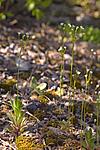 KA_07_1_0549 / Androsace septentrionalis / Smånøkkel