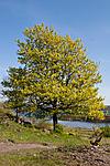 KA_07_1_0561 / Acer platanoides / Spisslønn