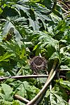KA_07_1_0957 / Heracleum mantegazzianum / Kjempebjørnekjeks
