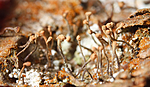 KA_08_1_0194 / Sclerophora coniophaea / Rustdoggnål
