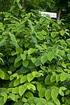 KA_08_1_1375 / Reynoutria japonica / Parkslirekne