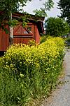 KA_08_1_1377 / Bunias orientalis / Russekål