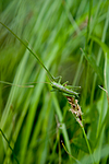 KA_08_1_1403 / Conocephalus dorsalis / Sivgresshoppe